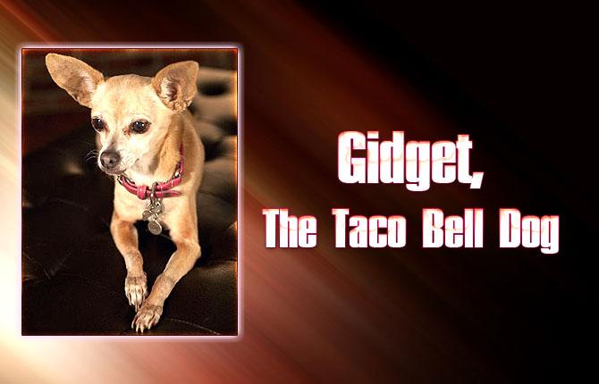 Gidget-The-Taco-Bell-Dog