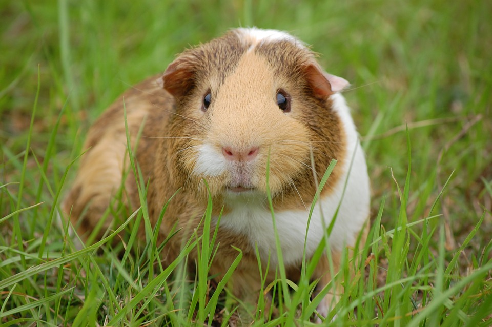 20 Interesting Facts about Guinea Pigs