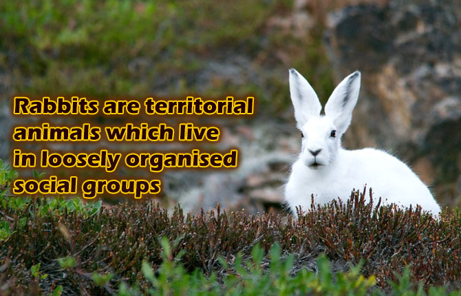 Rabbits-are-territorial-animals-which-live-in-loosely-organised