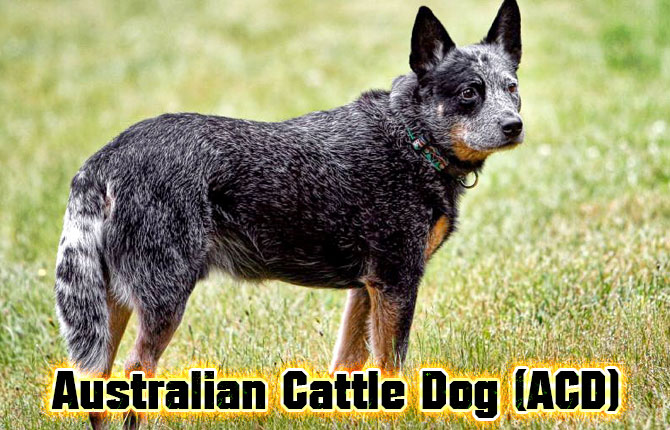 10-australian-cattle-dog