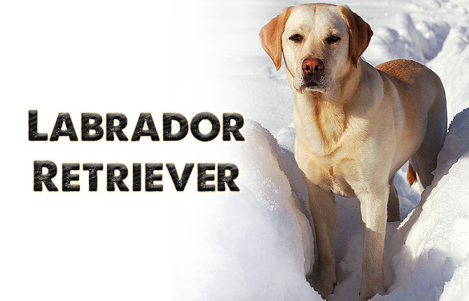 8-labrador-retriever
