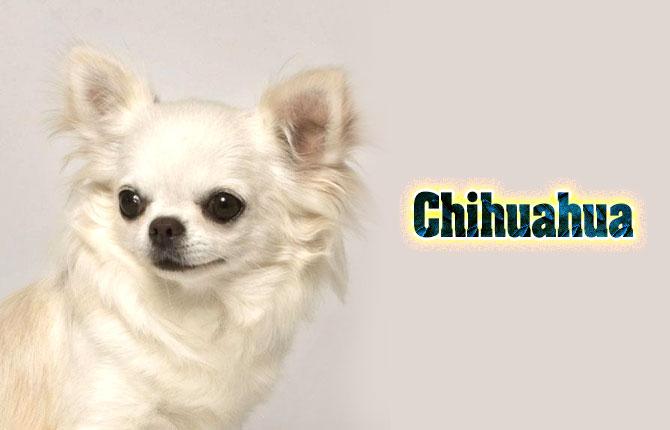 9-chihuahua