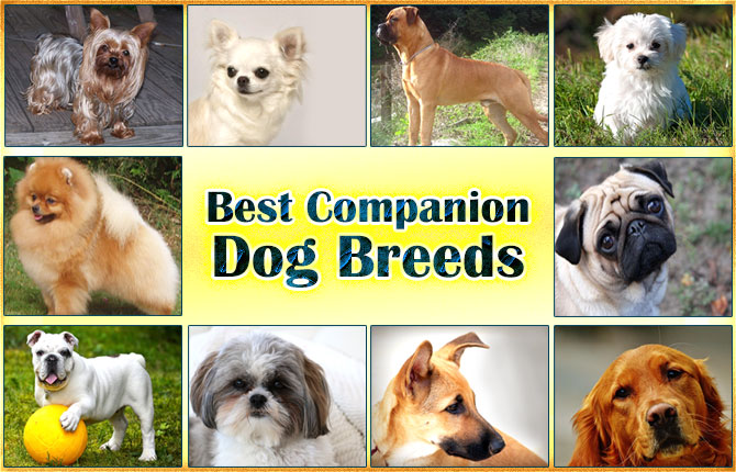 best-companion-dog-breeds
