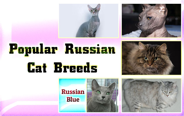 Popular Russian Cat Breeds