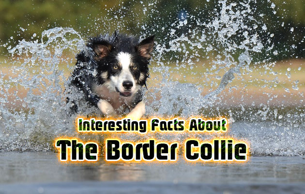 Photo of Interesting Facts about the Border Collie