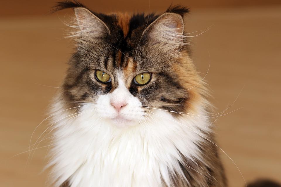 Photo of Maine Coon: The Gentle Giant of Cats