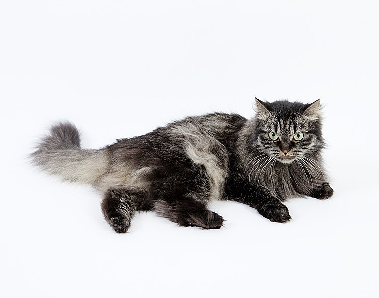 Photo of Siberian – The National Cat of Russia