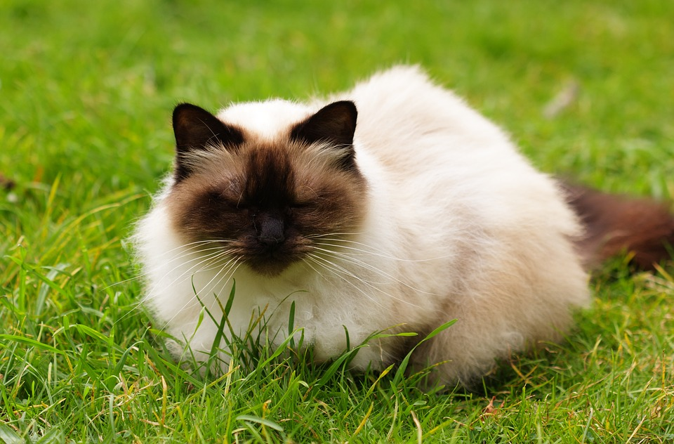 Photo of The Sweet Himalayan Cat