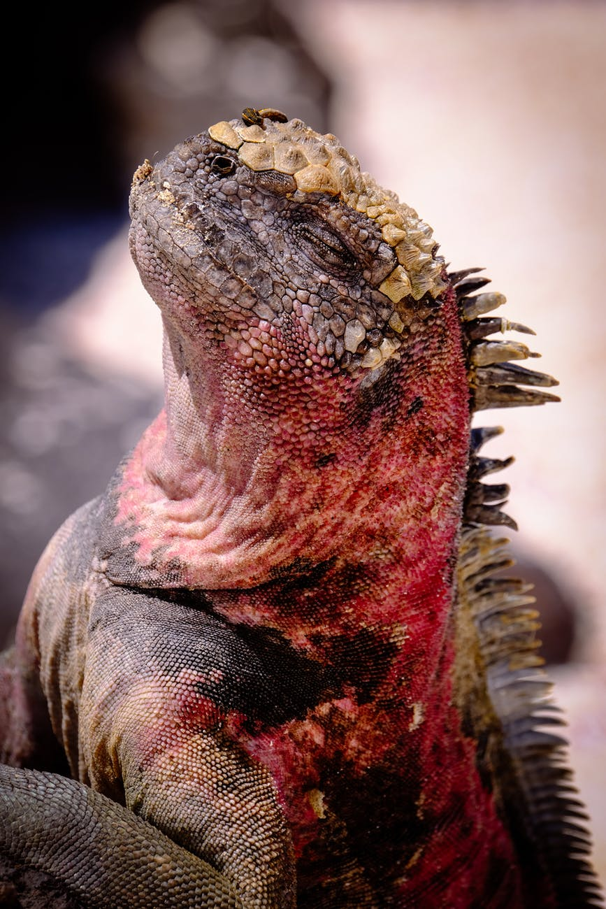 Photo of 10 facts you didn't know about Iguanas