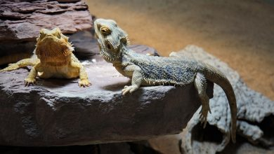 Photo of Guide to Owning a Bearded Dragon Lizard