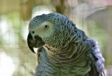 Photo of Will An African Grey Parrot Make A Great Pet Bird?